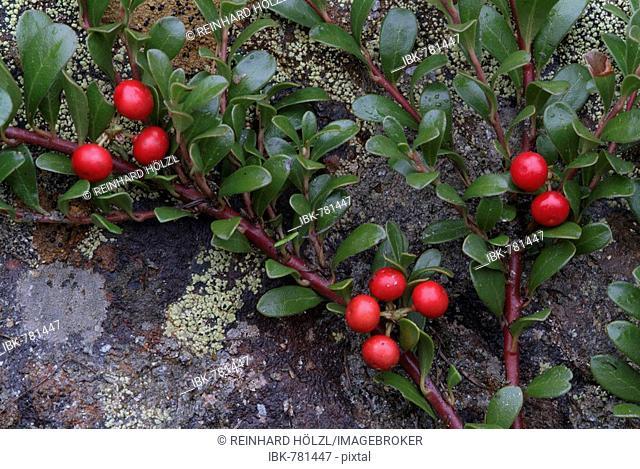 Bearberry, Kinnikinnick or Pinemat Manzanita (Arctostaphylos uva-ursi), Martelltal, Stilfser Joch National Park, Bolzano-Bozen, Italy, Europe