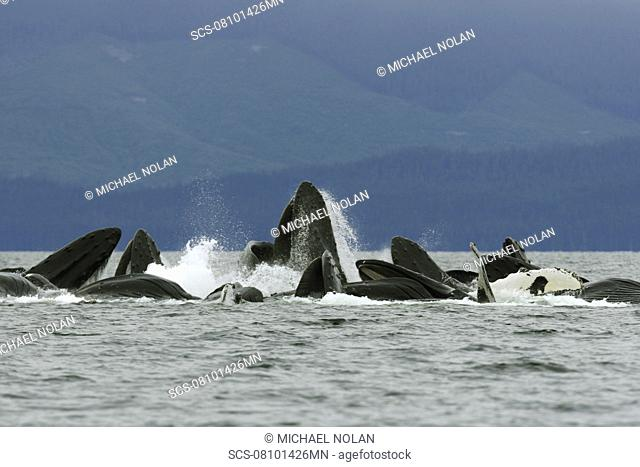 Adult humpback whales Megaptera novaeangliae cooperatively bubble-net feeding in Freshwater Bay on Chichagof Island in Southeast Alaska