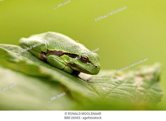 Common Tree frog sitting on leaf