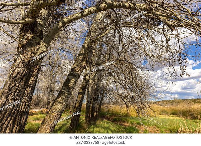 White poplars (Populus alba) and clouds. Almansa. Albacete province, Castile-La Mancha, Spain