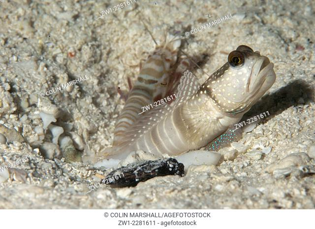Banded Shrimpgoby (Cryptocentrus cinctus) with Snapping Shrimp (Alpheus sp.) by hole, Raja Ampat (4 Kings), West Papua, Indonesia
