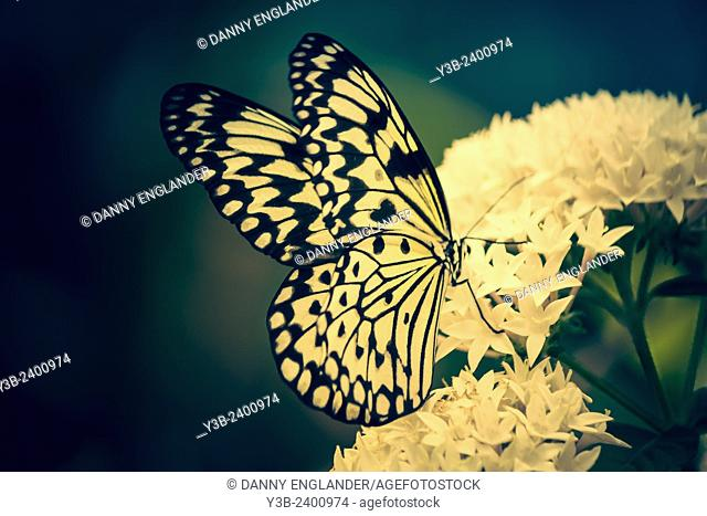 Paper Kite butterfly on a white flower vintage-look