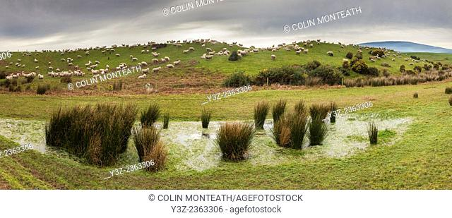 Sheep grazing on hills outside Tuatapere, Southland panorama, New Zealand