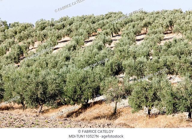 Tunisia - Around Dougga - Olive plantation