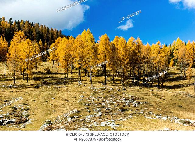 Altopiano of Asiago, Province of Vicenza, Veneto, Italy. Larch trees in autumn