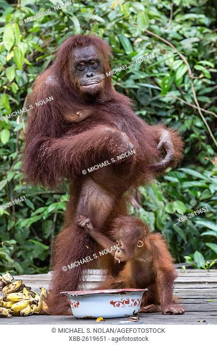 Reintroduced mother and infant orangutan, Pongo pygmaeus, at feeding platform, Tanjung Puting National Park, Borneo, Indonesia