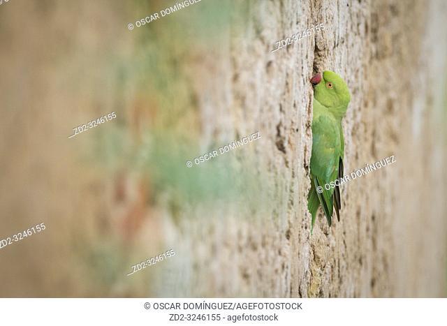 Rose-ringed Parakeet (Psittacula krameri), female perched on nesting wall. Rajasthan. India