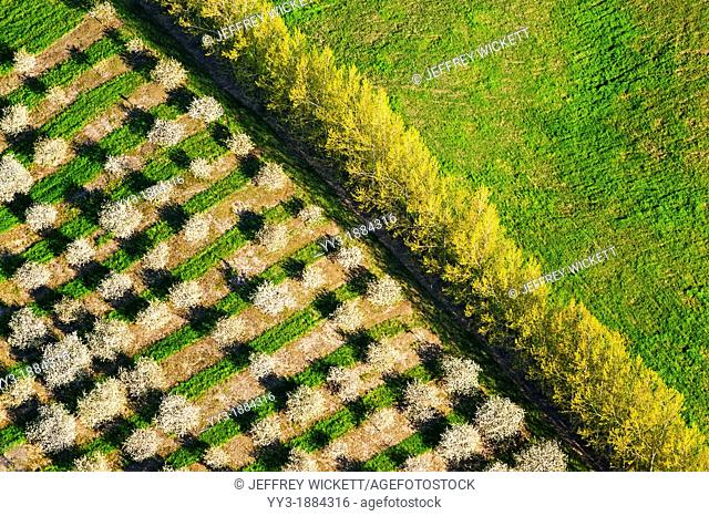 Birds-eye-view of cherry orchards in the spring time, Oceana county, Michigan, USA