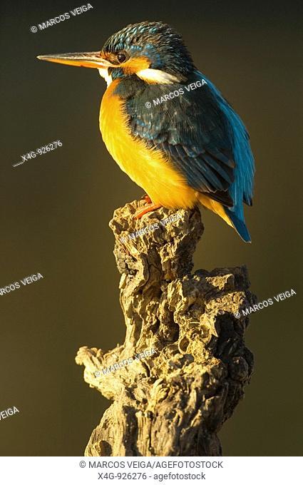 Hembra de martín pescador Alcedo atthis Female Kingfisher Alcedo atthis