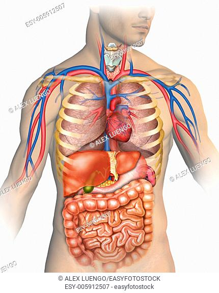 Illustration describing the anatomy of the human body which are mainly represented major arteries and veins, respiratory and digestive