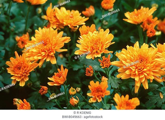 Costmary, Chinese Aster, Chrysanthemum, Mum, Garden Mum Dendranthema x grandiflorum, Dendranthema grandiflorum, Dendranthema indica, Chrysanthemum indicum