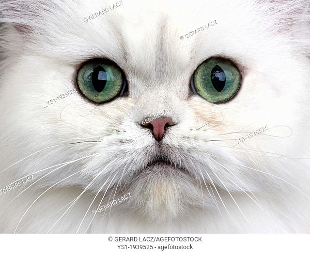 Chinchilla Persian Domestic Cat with Green Eyes, Close up of Head