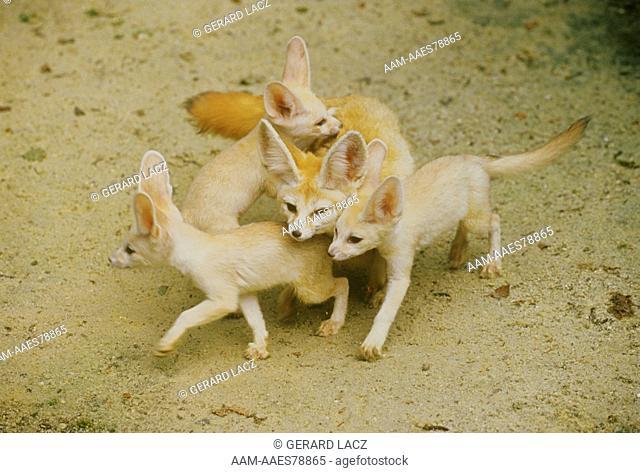 Fennec Fox w/ Young (Fennecus zerda)