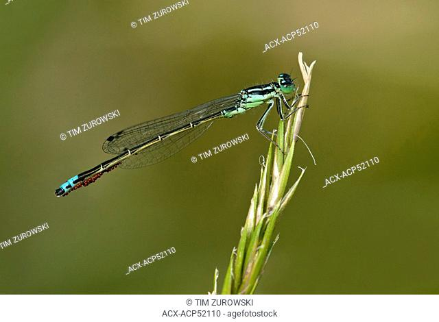 Western Forktail, Ischnura perparv at Viaduct Flats and Beaver Lake Ponds, Saanich BC