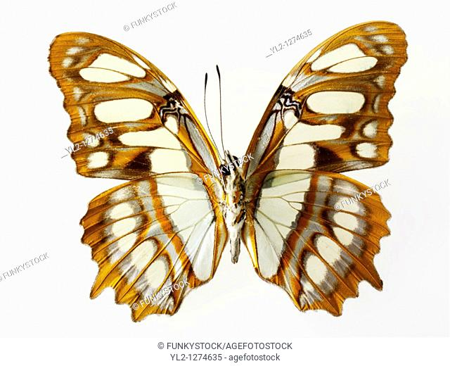Cethosia Lacewing Butterfly