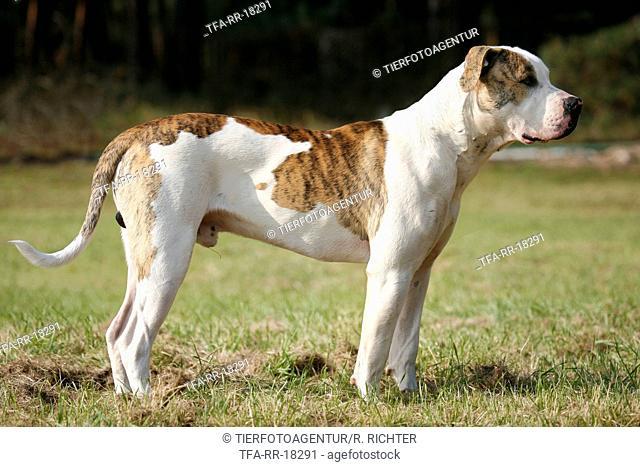 standing American Bulldog
