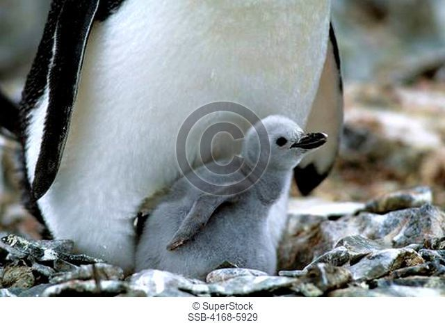 ANTARCTICA, LIVINGSTON ISLAND HANNAH POINT, CLOSE-UP OF CHINSTRAP PENGUIN CHICK