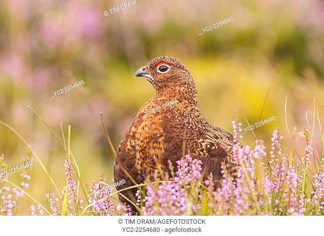 A Red Grouse ( Lagopus lagopus scoticus ) in moorland , Yorkshire Dales , England , Uk