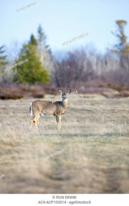 White-tailed Deer (Odocoileus virginianus), Barrie Island, Manitoulin Island, Ontario, Canada