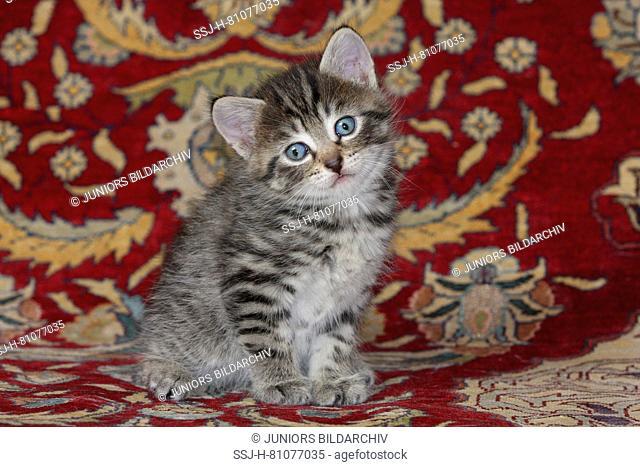 Domestic cat. Kitten sitting on a carpet. Germany