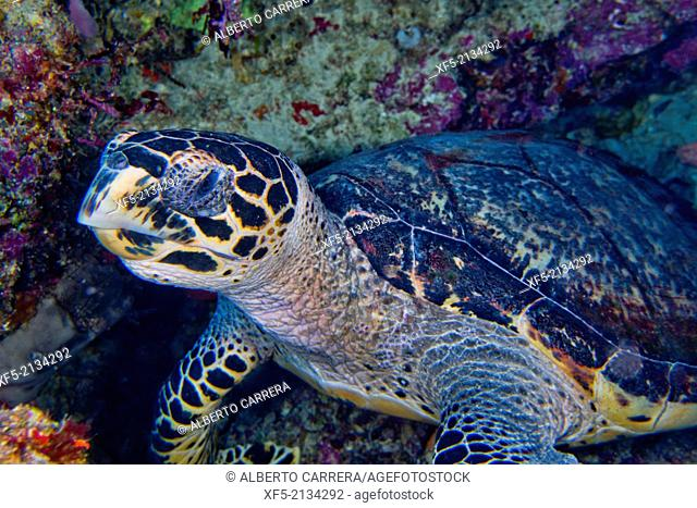 Hawksbill Sea Turtle, Eretmochelys imbricata, Bunaken National Marine Park, Bunaken, North Sulawesi, Indonesia, Asia