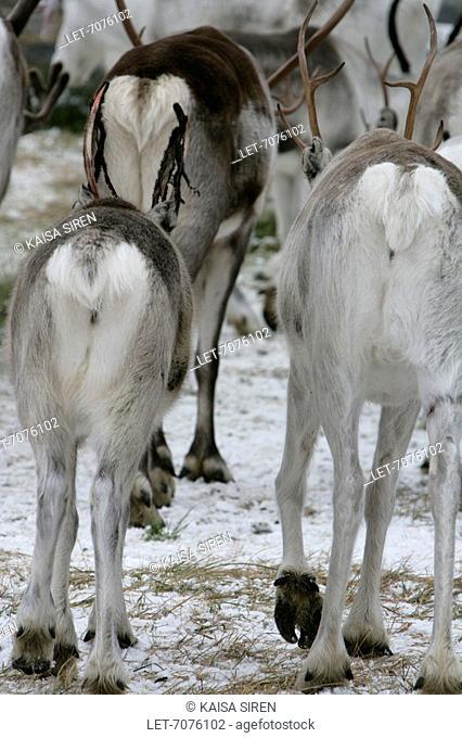 Reindeer round-up in Inari, Finnish Lapland