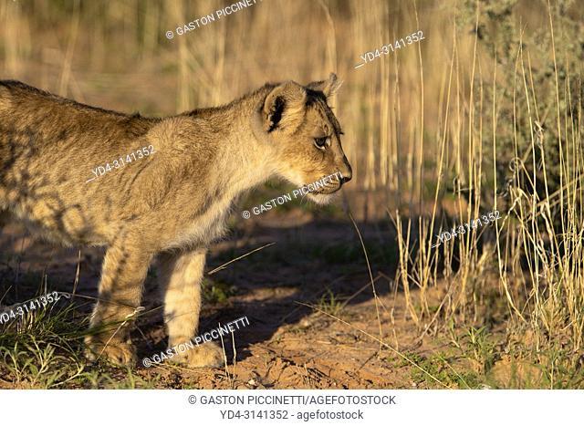 African lion (Panthera leo) - Cub, Kgalagadi Transfrontier Park, Kalahari desert, South Africa/Botswana