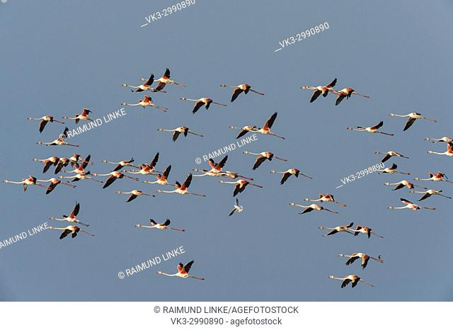 European Flamingo, Great Flamingo, Phoenicopterus roseus, in Flight, Saintes-Maries-de-la-Mer, Parc naturel régional de Camargue, Languedoc Roussillon, France