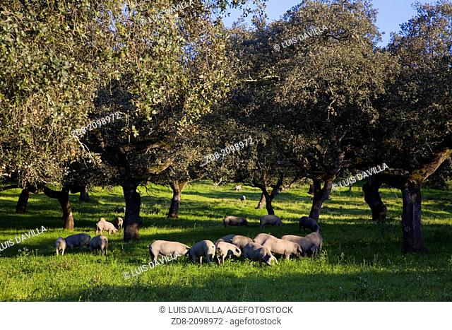 herd of iberian pigs. Andalusia, Spain