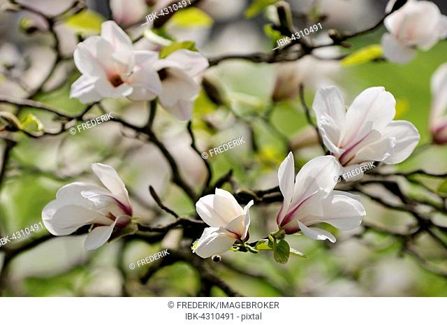 Magnolia tree (Magnolia) with flowers, North Rhine-Westphalia, Germany