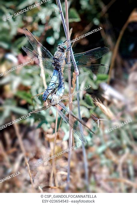 dragonfly mating in the natural park