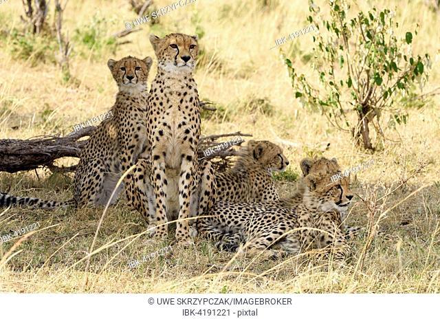 Cheetahs (Acinonyx jubatus), female, with young, Maasai Mara National Reserve, Narok County, Kenya