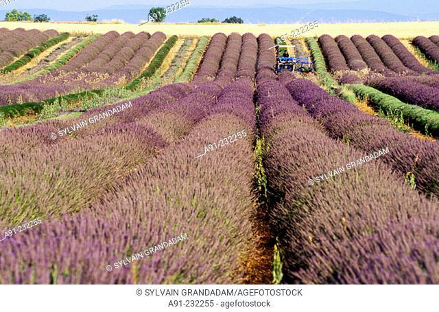 Blossoming lavender fields. Valensole. Alpes de Haute Provence. Provence. France