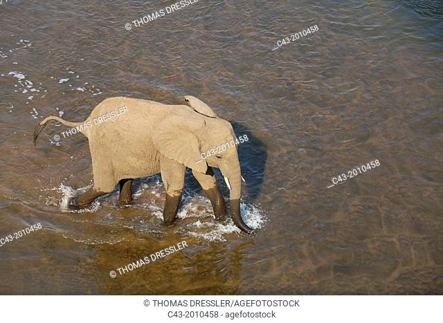 African Elephant (Loxodonta africana) - Cow, wading through the Olifants River. Photographed from a high-level bridge. Kruger National Park, South Africa