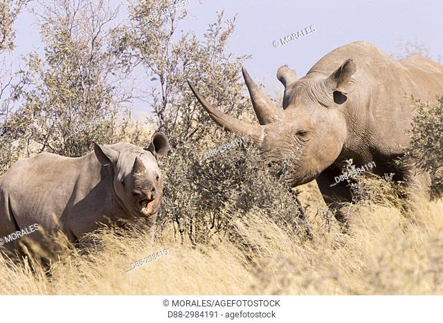 Africa, Southern Africa, South African Republic, Kalahari Desert, Black rhinoceros or hook-lipped rhinoceros (Diceros bicornis), mother and young