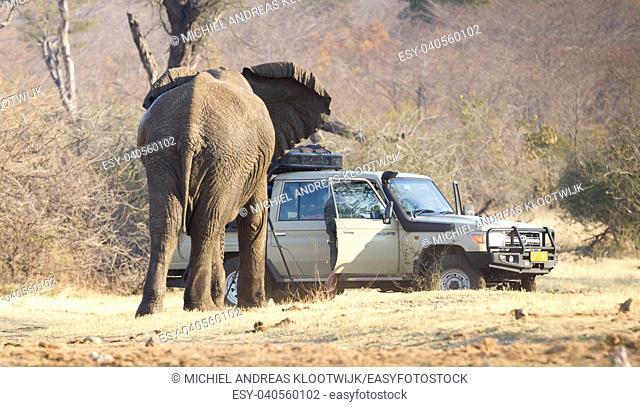 Divundu, Namibia - Professional photographer taking shots of an African Elephant charging the car