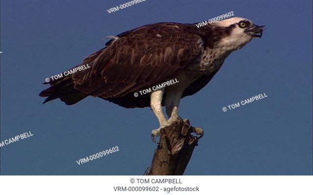Osprey Pandion haliaetus eating a fish. Everglades NP, Florida, USA