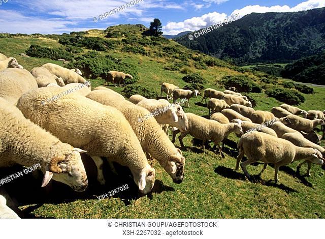 flock of sheep at Pailheres Pass, Donezan region, Ariege department, Midi-Pyrenees region, France, Europe