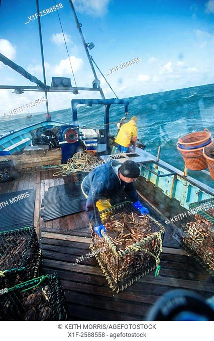 Inshore fishing in Cardigan Bay : Fishermen at work landing the weekly catch of lobster and crab on to the deck of a small fishing boat working out of...