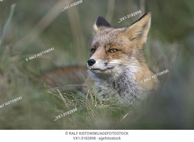 Red Fox ( Vulpes vulpes ) resting during daytime in high grass, looks suspicious, close up.