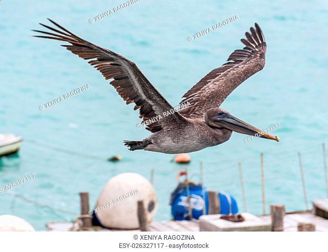 Pelican in flight against blue sky, Galapagos Islands, Ecuador