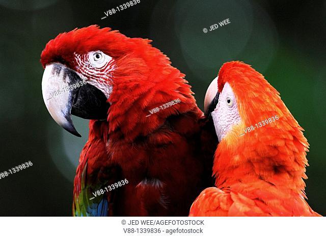 A pair of Red-and-green Macaws aka Green-winged Macaws (Ara chloropterus) grooming, Jurong Bird Park, Singapore