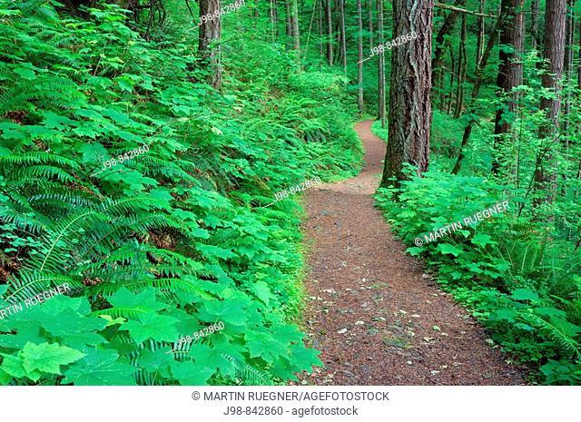 Trail to Elowah Falls John Yeon State Park, Columbia River Gorge National Scenic Area, Multnomah County, Oregon, USA, America