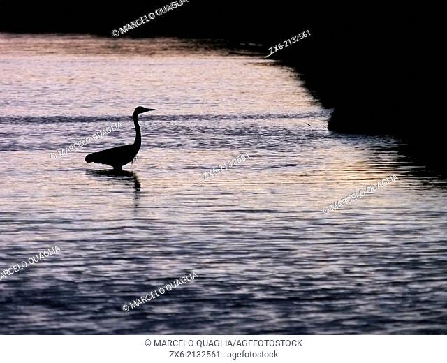 Backlit Grey Heron (Ardea cinerea) at Alfacs Bay. Ebro River Delta Natural Park, Tarragona province, Catalonia, Spain