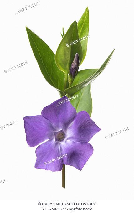 Vinca minor - common periwinkle or dwarf periwinkle in flower