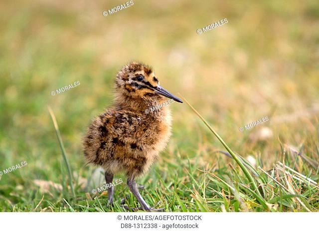 Falkland Islands , Sea LIon island , Magellanic snipe or South American Snipe Gallinago paraguaiae magellanica  , young , Order : Charadriiformes