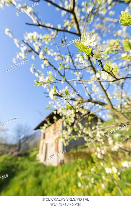 Crabapple tree, Val Brembana, Province of Bergamo, Orobie alps, Italian alps, Italy