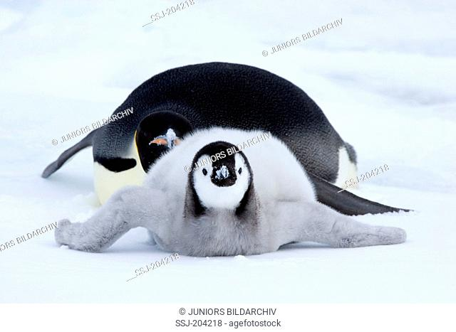 Emperor Penguin (Aptenodytes forsteri). Adult and chick lying on ice. Snow Hill Island, Antarctica