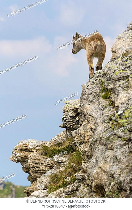 Alpine Ibex (Capra ibex), young standing on rock face, Niederhorn, Bernese Oberland, Switzerland