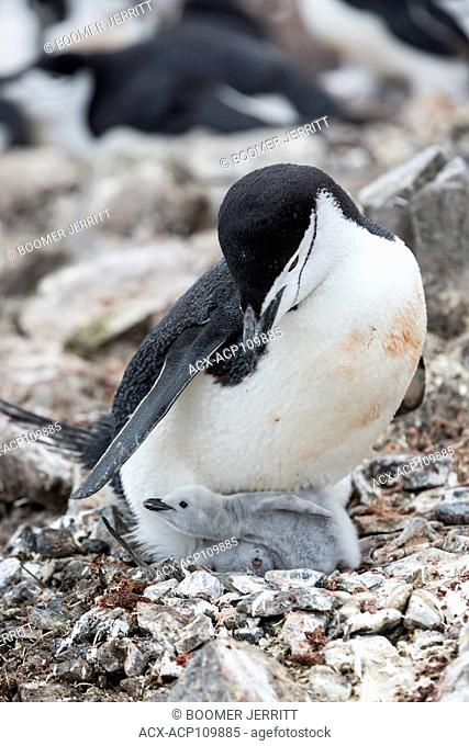 A baby Chinstrap Penguin peeks out from underneath its parent at Half Moon Island, Antarctic Peninsula